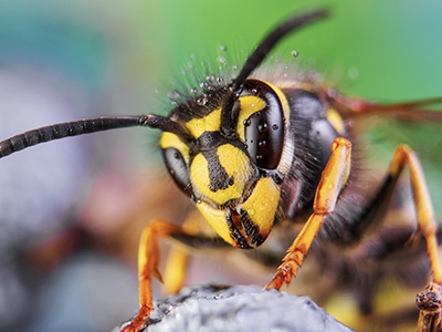 Bee, Wasp & Hornet Removal Delaware | Delmar Termite & Pest Control - dps-bees-wasps-hornets