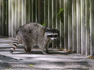 Raccoon Removal & Control: Delaware | Delmar Termite and Pest Control   - dps-racoons